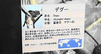 DSCデグー.jpg